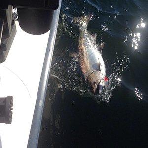 Au bout de 10 minutes, premier saumon royal (chinook).  !