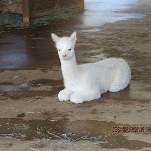 Week-old Cria
