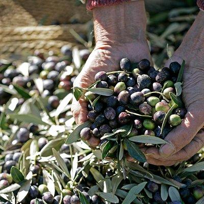 Olive soci