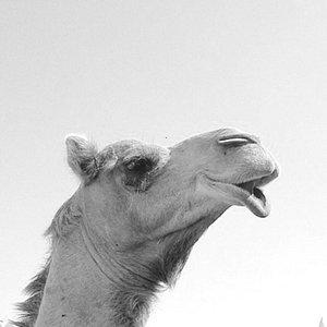 Janabiya Camel Farm
