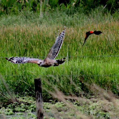 Red-winged blackbird chasing a red-shouldered hawk at Dinner Island  Ranch Wildlife Management A