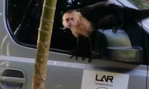 In Congo monkey shelter