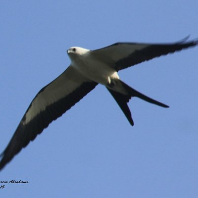 Swallow-tailed kite- Loxahatchee Slough Natural Area in Palm Beach Gardens, FL
