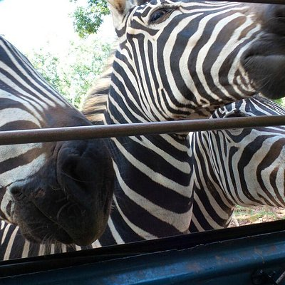 zebras at the window of our rented van