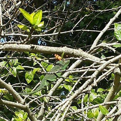 хамелеон в кустах