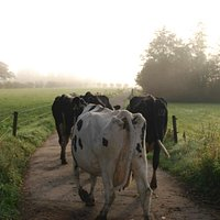 Cows going to find grass