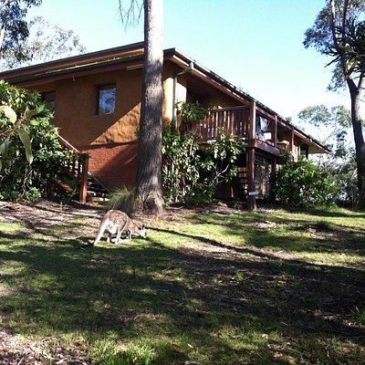Kangaroos often visit the meditation centre