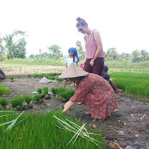 Rice field in tetebatu
