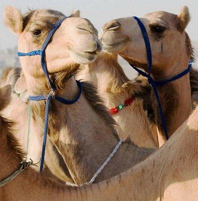 Camel Farm in Al Khatim Desert