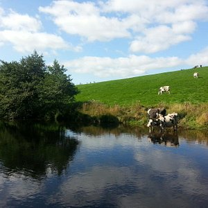 Cows having a drink in the sunshine