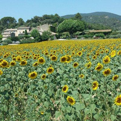Lourmarin sunflower fields