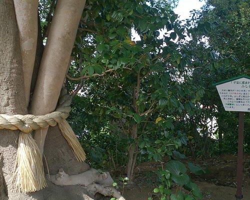 本堂の裏の子宝の木
