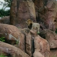 A lion watching over his territory during Kilimanjaro Safaris at Disney Animal Kingdom, Orlando.