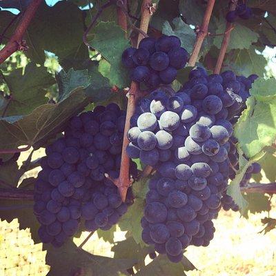 Wy'East Vineyards