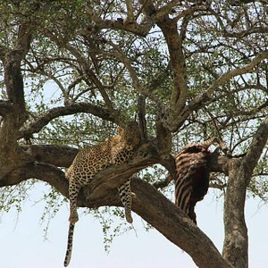 This leopard killed a zebra and dragged it in the tree.