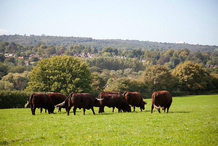 Sussex Cattle