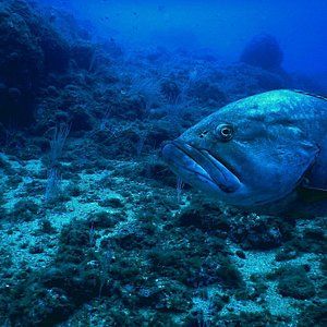Big grouper in Ille Medes