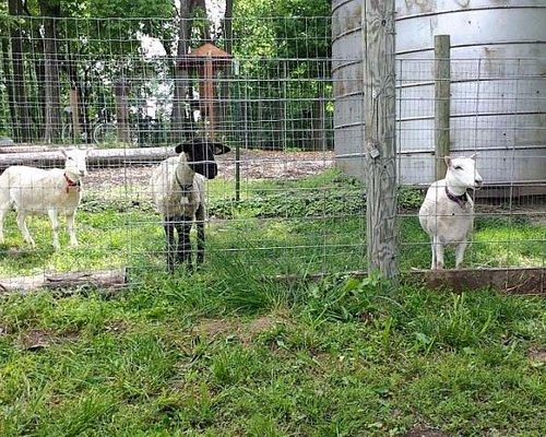 Friendly Neighborhood Goats