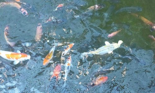 Carp swimming under the walk over bridge