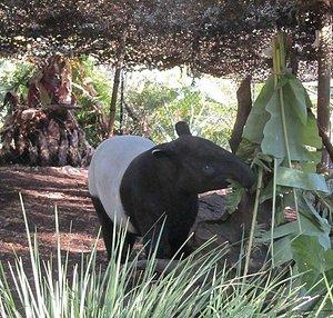 Berani the Malayan Tapir