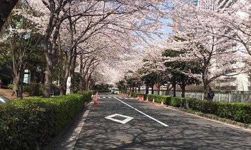 ゲートシティ横の桜並木