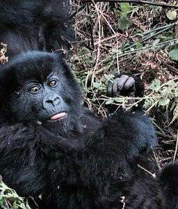 Gorilla in Volcano National Park