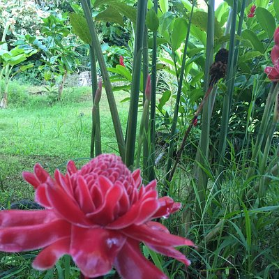 Red Torch Gingers growing on Halawa Tropical Flower Farm