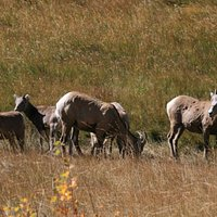 Group of Big Horn Sheep Grazing