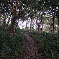 雄島の原生林 樹海