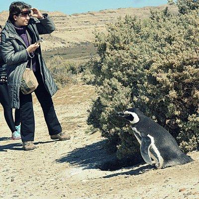 Caminata entre Pinguïnos de magallanes en la reserva El Pedral