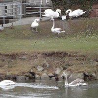 パークでは白鳥や水鳥、リス等の小動物が自然な形で生活しています