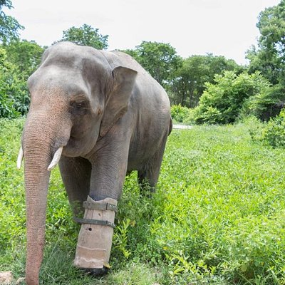 Join the Wildlife Alliance tour to meet Chhouk, the only elephant in Cambodia with a prosthesis