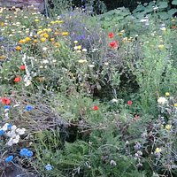 Wildflowers in the Priory Garden