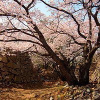 Cherry blossoms at the Japanese fortress