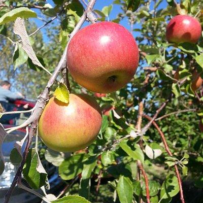 Pleasant Valley Apples
