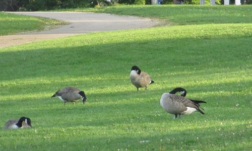 Canada Geese abound