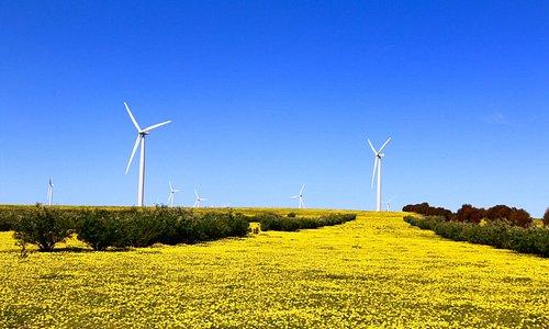 42 white Wind turbines among yellow flower carpet