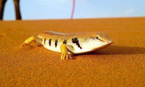 desert-animal