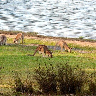 Kangaroos feeding near the camping area Lake Cressbrook