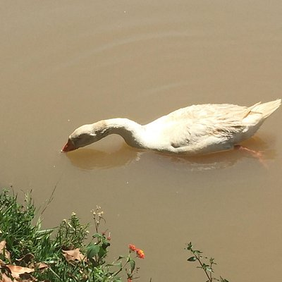 o pato, vinha cantando alegremente