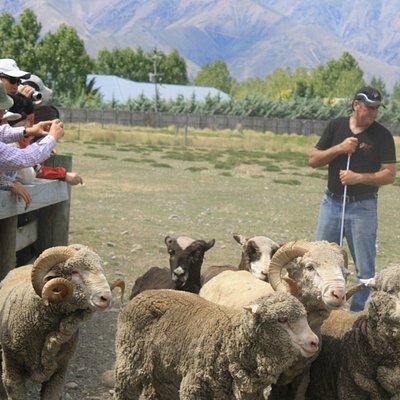 The Wrinkly Rams Sheep Shearing Show-Sheep muster