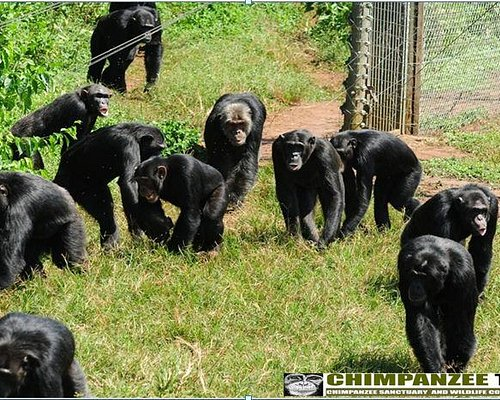 chimps in the wild