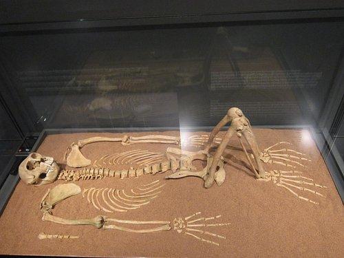 Squelette de singe dressé appartenant jadis à un dignitaire.
