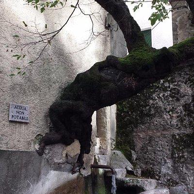 Il carpine che fuoriesce dal muro.