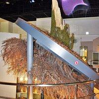 樹齢200年のブナ倒木の展示
