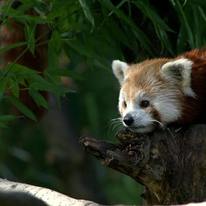 Panda roux / red panda