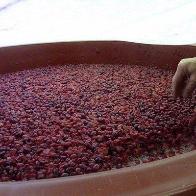 Cranberries fermenting