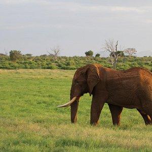 giornale kenya safari Tsavo Est