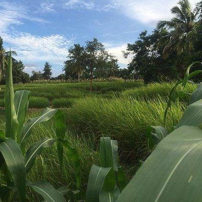 Organic Rice Terraces