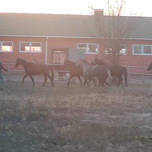 Конюхи загоняют вырвавшихся лошадей обратно